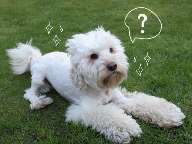 Perros que alcanzan la fama viral por sus cortes de pelo... a veces ...