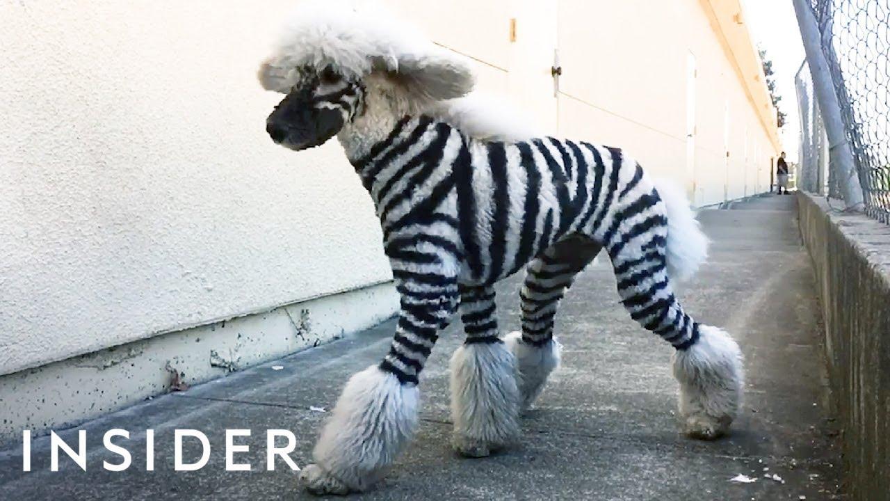 Perros zebra, perros jirafa y perros de colores: el estrafalario ...