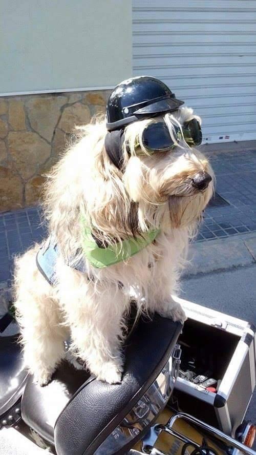 Los canes más veloces  o cómo viajar con perro... en moto 1f7bad8b4d01